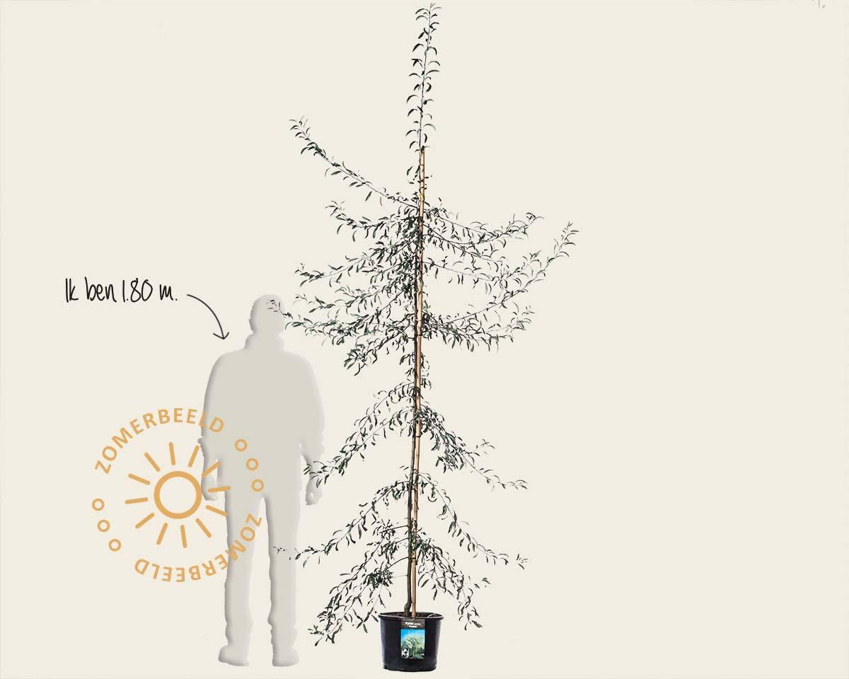 Pyrus salicifolia 'Pendula' kopen