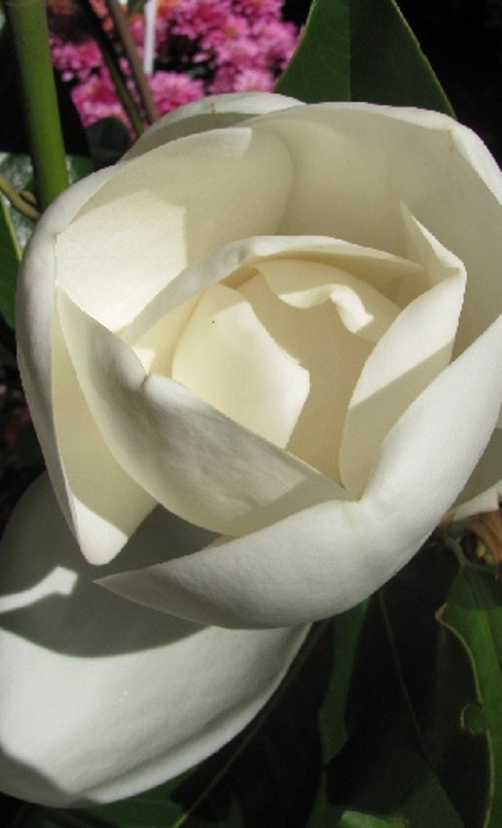 Magnolia Grandiflora 'Galissoniere' - Wintergroene Beverboom - Hoogte 250 cm pot kopen