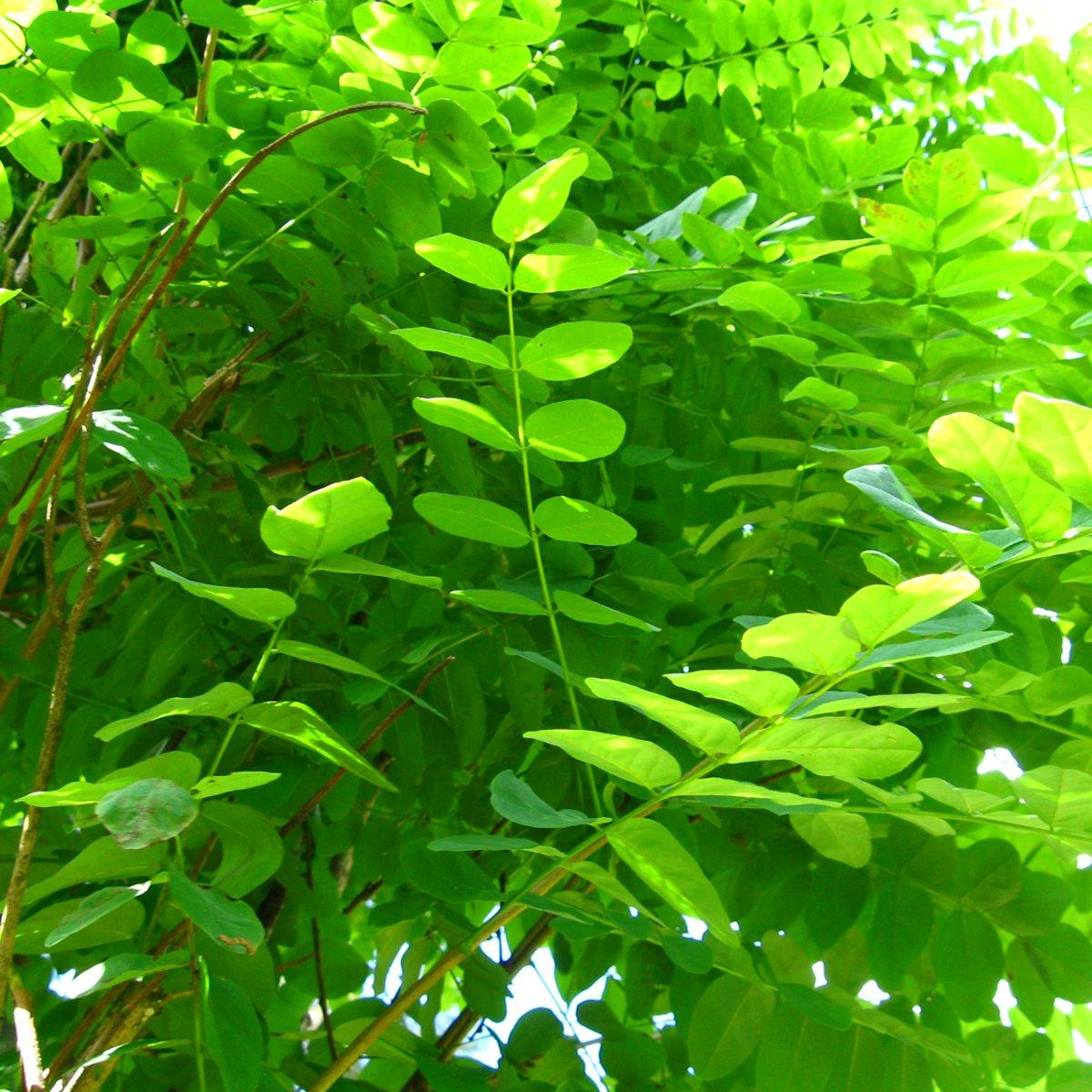 Robinia Pseudoacacia 'Umbraculifera' - Bolacacia - Hoogte 275 cm pot kopen