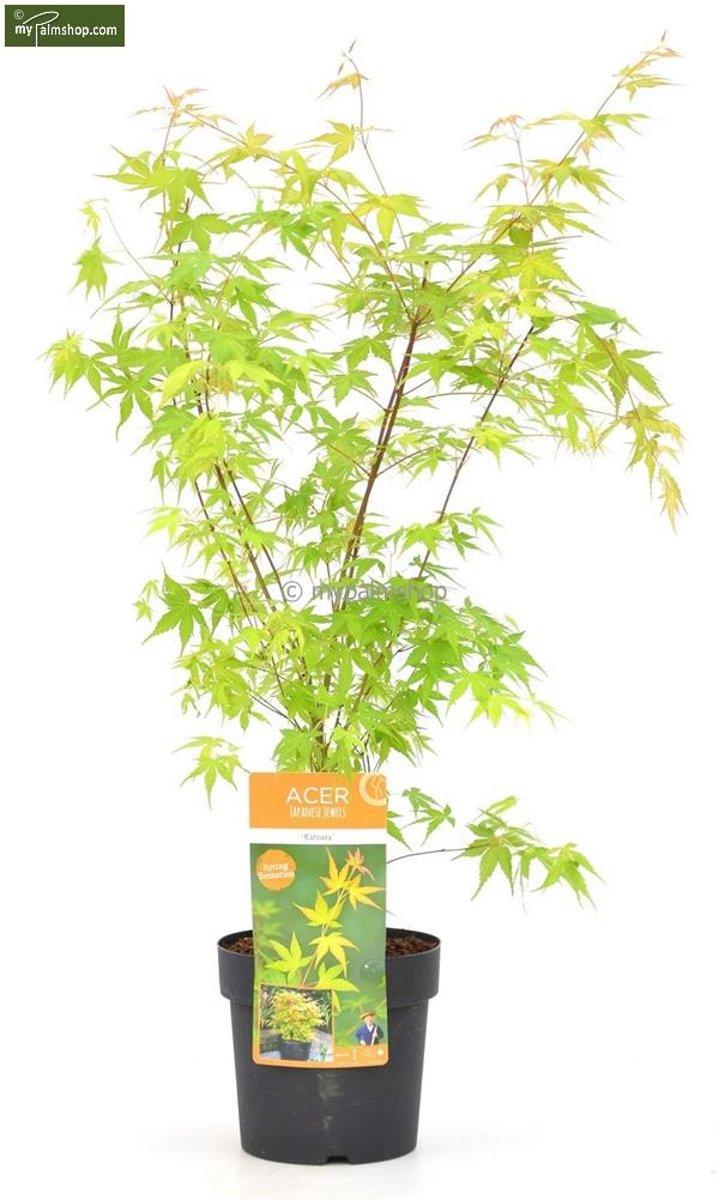 Acer palmatum 'Katsura' Totale hoogte 50-60cm incl. Ø 19 cm pot - Japanse Esdoorn kopen