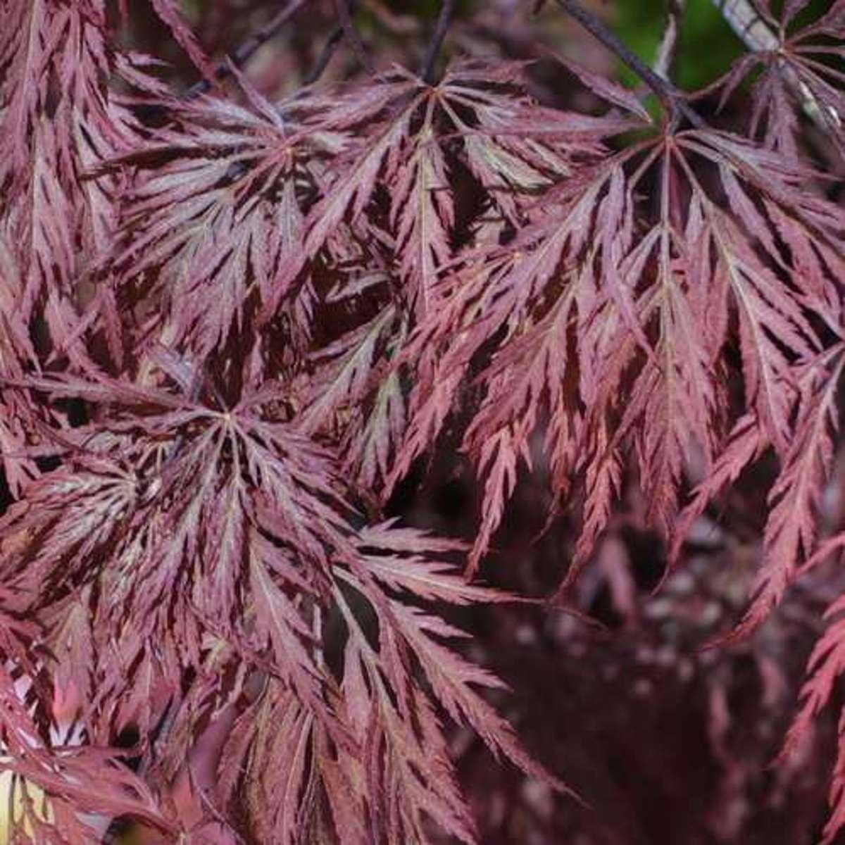 Acer Palmatum 'Inaba-Shidare' - Japanse esdoorn 40-50 cm pot kopen
