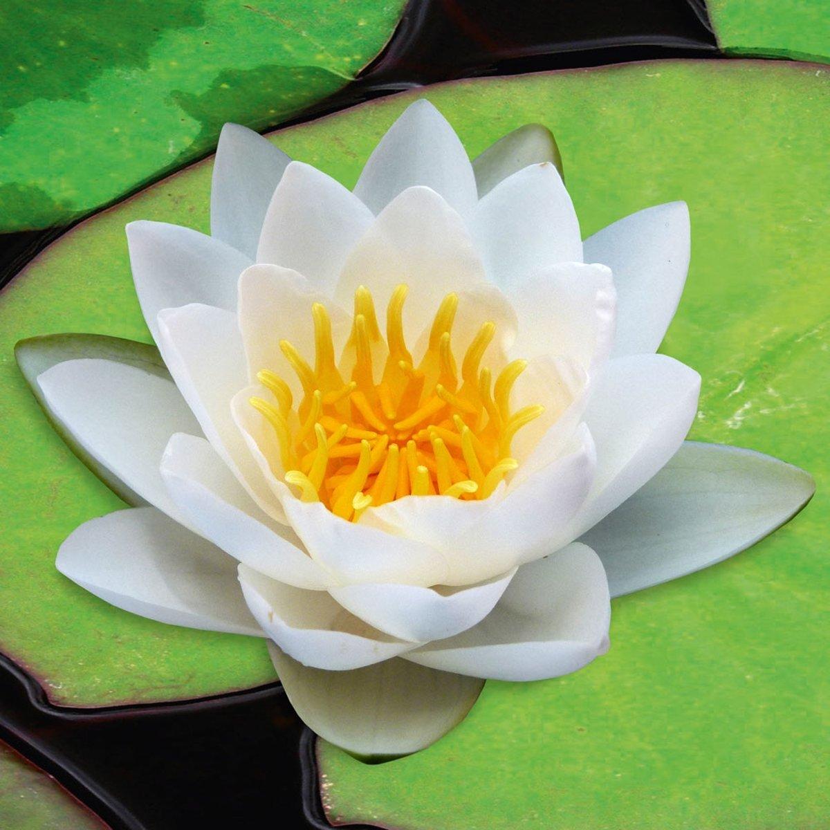 Waterworld Nymphaea Virginalis - Witte Waterlelie + Oppot Set (Vijvermandje, Klei, Grind & Voeding) kopen