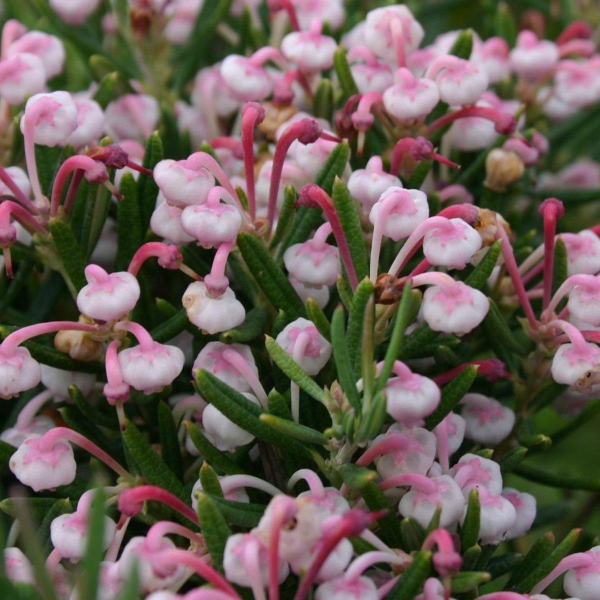 Andromeda Polifolia 'Nikko' - Rotsheide;Lavendelheide 15-20 cm pot kopen