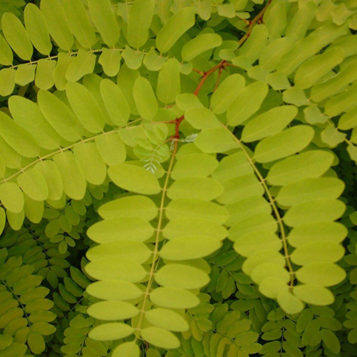 Robinia Pseudoacacia 'Frisia' - Valse Acacia - Hoogte 325 cm pot kopen