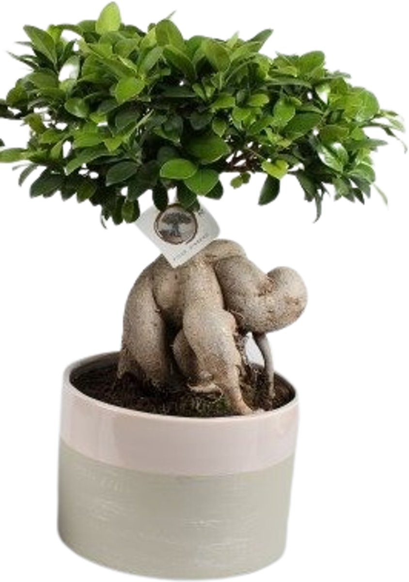 Bonsai Ficus ginseng in keramiek pot (Groen), 50 CM hoog