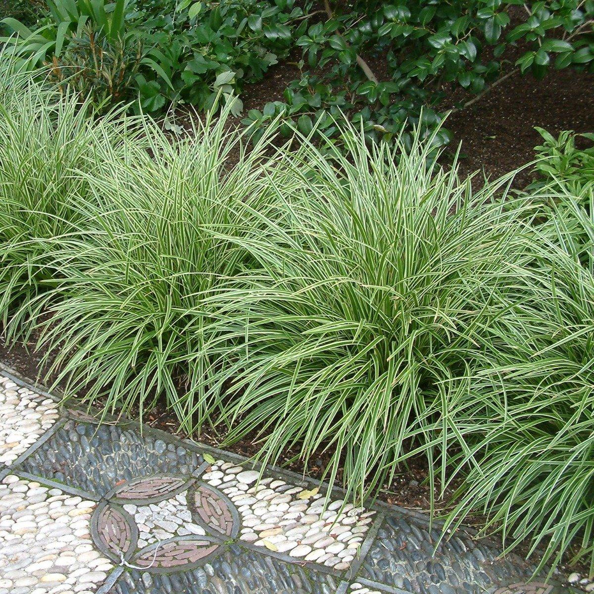 10 x Carex morrowii Variegata in 9x9cm pot (stukprijs € 2,49) kopen