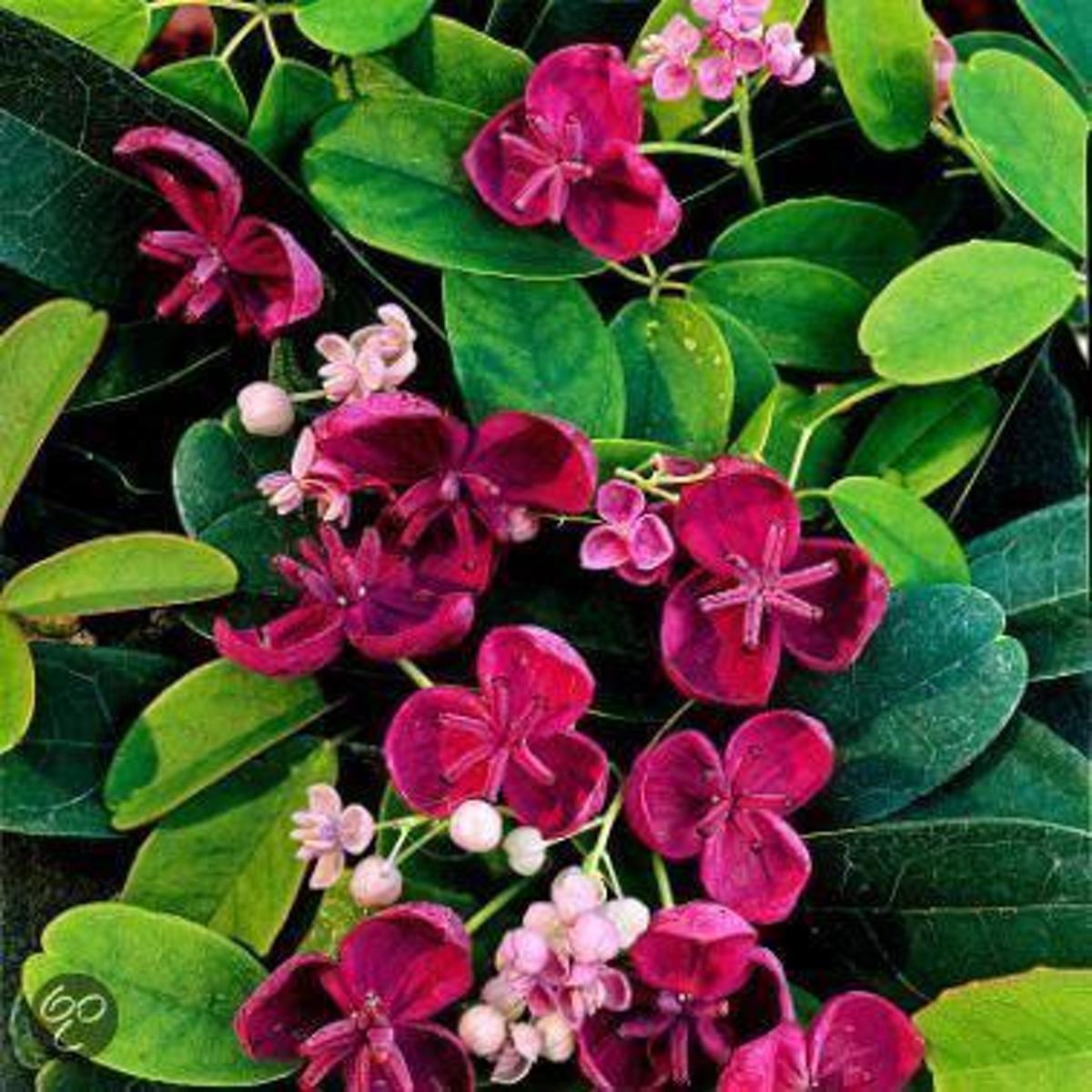 Akebia Quinata  - Klimplant | Paars - Groenblijvend