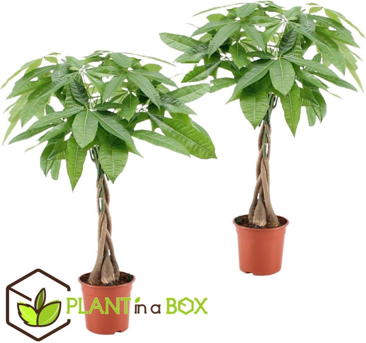 PLANT IN A BOX Pachira Aquatica - Money Tree - Set van 2 stuks - Hoogte ↕ 60 - 70 cm
