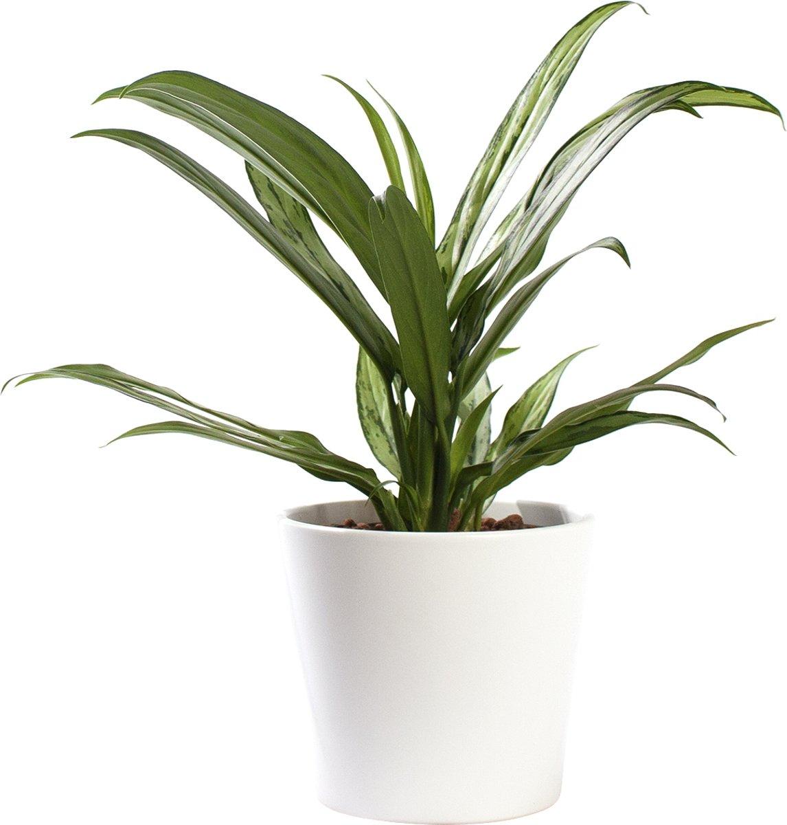 Plant in hydrocultuur systeem van Botanicly: Aglaonema met weinig onderhoud – in wit kleurig hydrocultuur sierpot – Hoogte: 30 cm – Aglaonema commutatum Cutlass