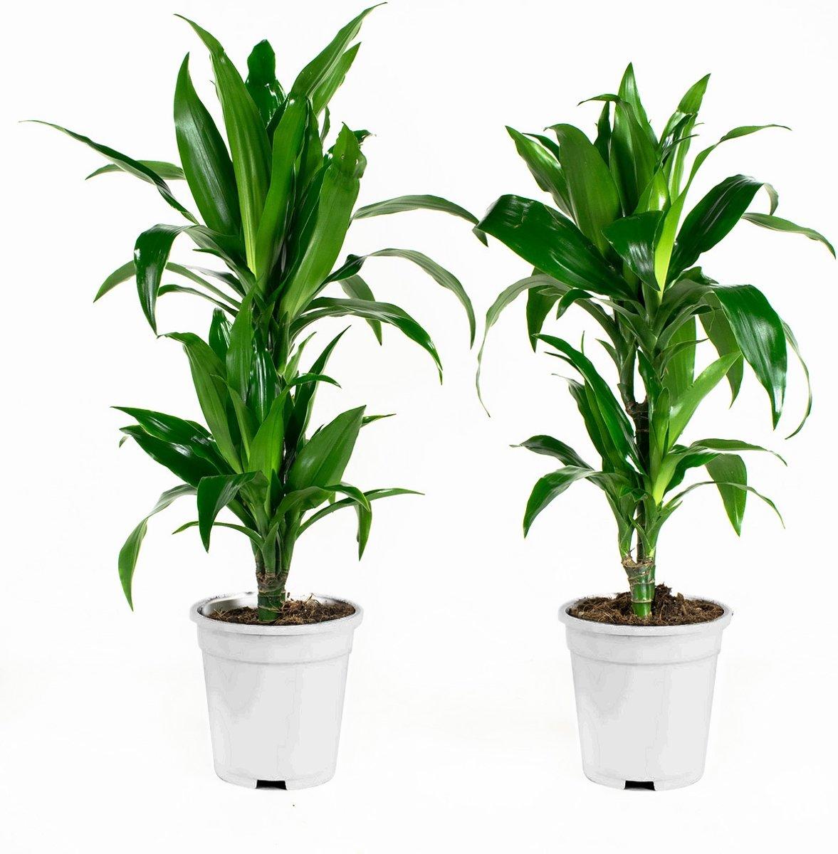 perfect stuks dracaena fragans janet craig hoogte cm with lepelplant giftig. Black Bedroom Furniture Sets. Home Design Ideas