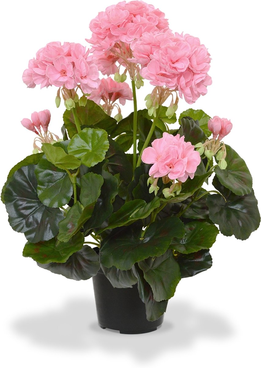 Geranium 40cm in pot rood en roze) kopen