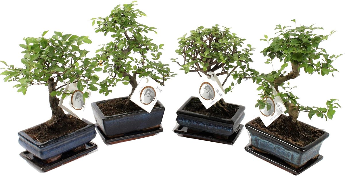 Bonsaiworld Chinese Bonsai boompjes - Set van 2 stuks  - In keramieken schaal + lekschotel - Hoogte ↕ 20 - 30 cm