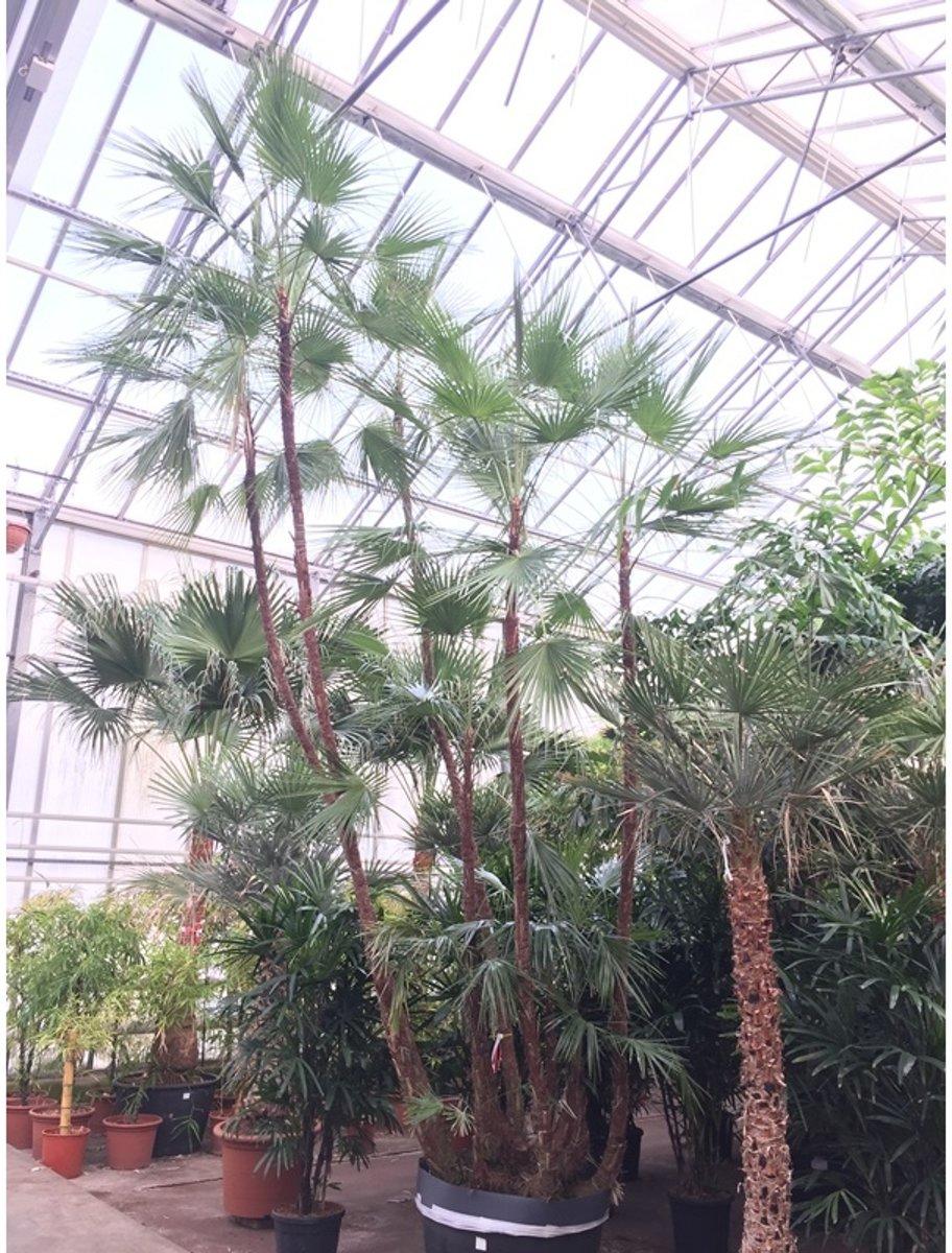 Paurotis - Acoelorrhaphe - Bahama palm 550-575cm - Multistam kopen