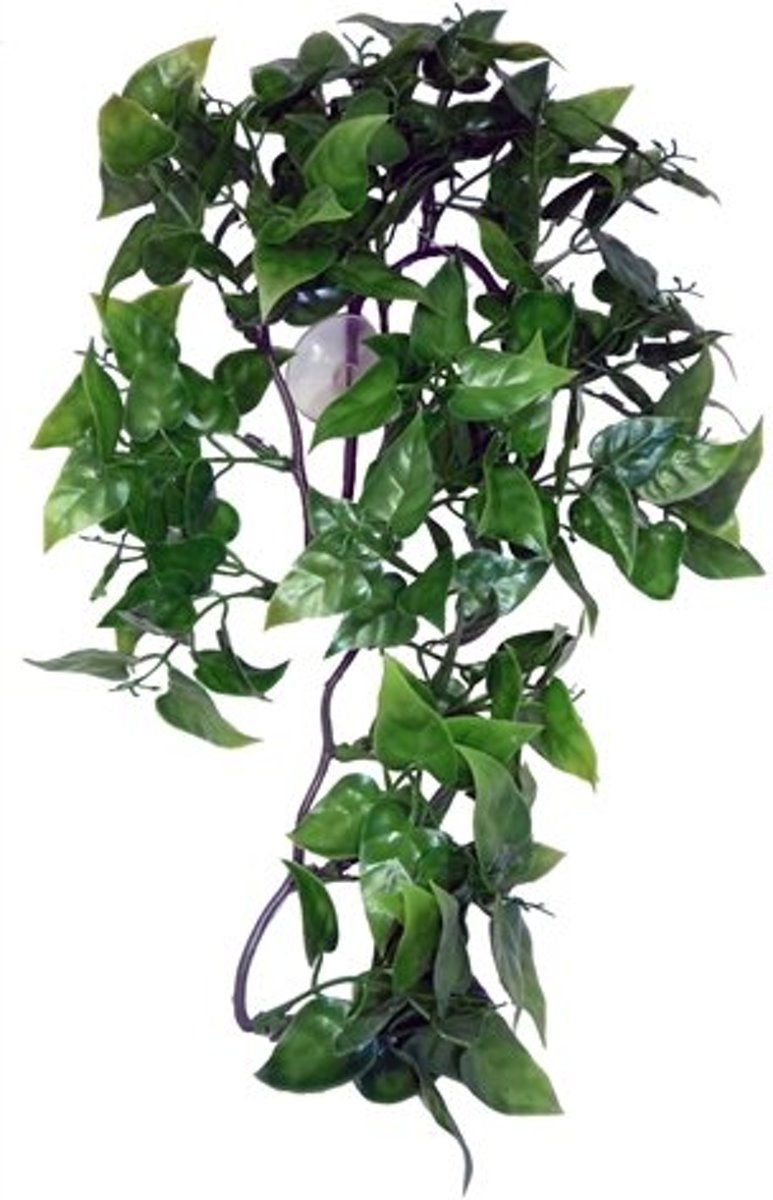Komodo Philodendron Plant - 30 cm