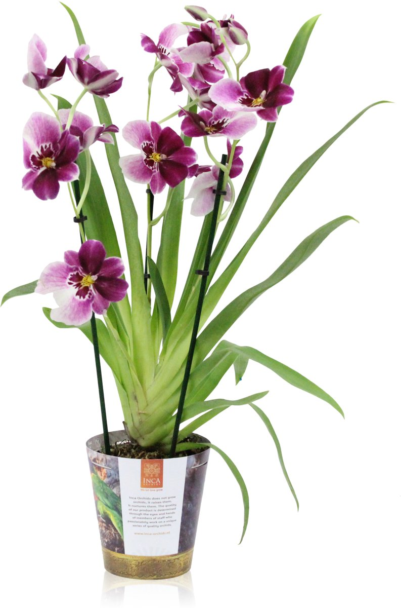 Paarse Miltonia Orchidee 70cm kopen