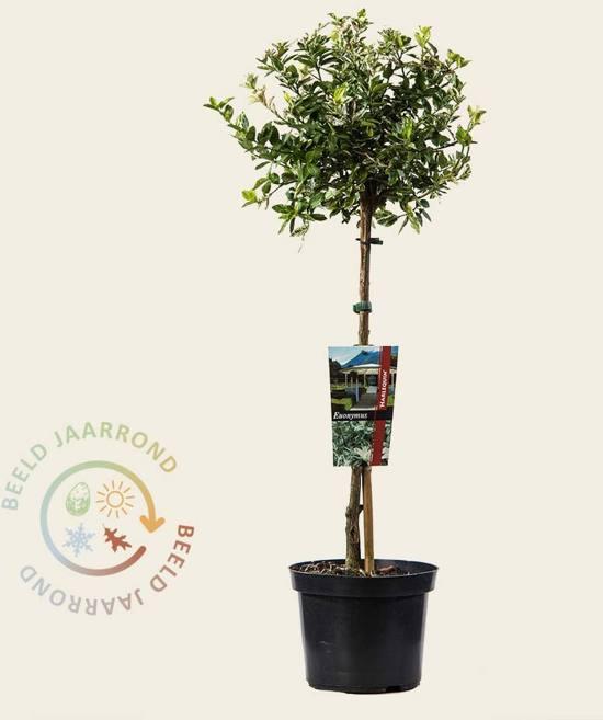 Euonymus fortunei 'Harlequin' - 50 cm stam