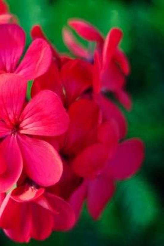 Pink Geranium Flower Journal