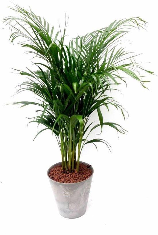 Palm Areca in sier overpot Hoogte 110cm