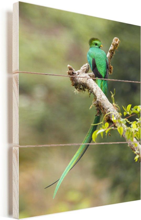 Quetzal rustend op een tak Vurenhout met planken 40x60 cm - Foto print op Hout (Wanddecoratie)