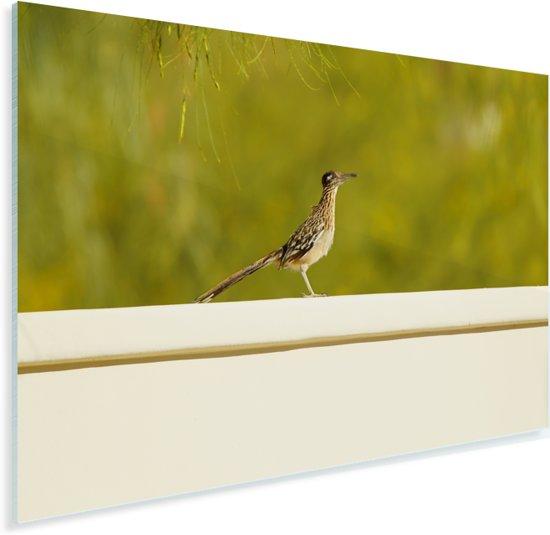 Renkoekoek rust uit op een muurtje Plexiglas 60x40 cm - Foto print op Glas (Plexiglas wanddecoratie)