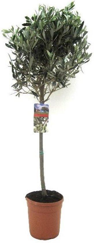 Olijfboom op stam Large 110 cm
