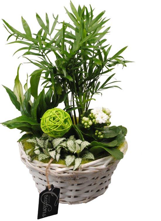Kamerplant van Botanicly – Arrangement Basic creatie in mand groen – Hoogte: 35 cm