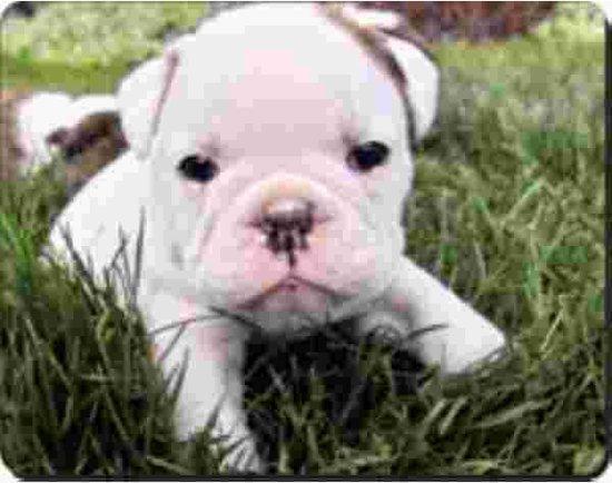 witte buldog pup in gras  Muismat