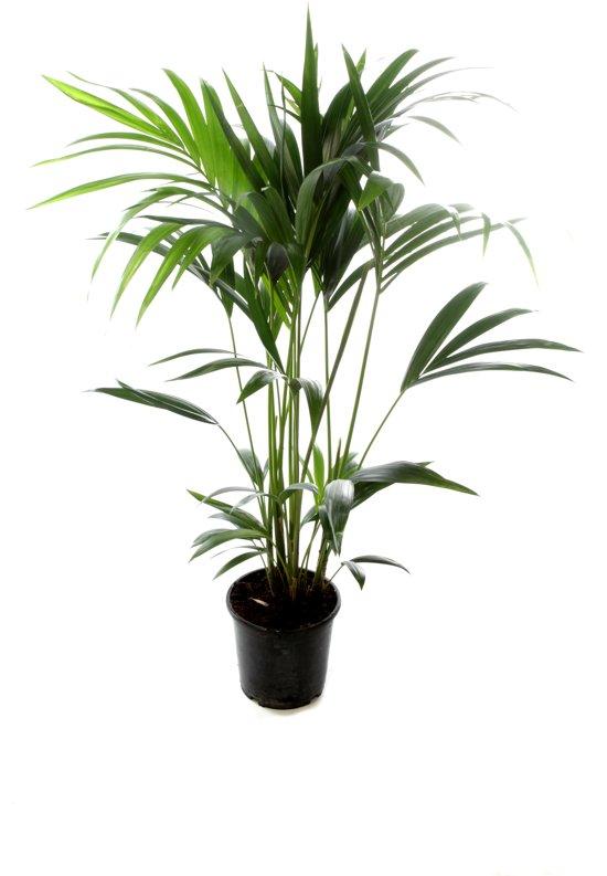 kamerplant - Howea - Kentia palm - ↑ 110+cm - Ø 19 cm pot