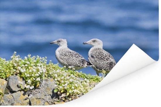 Twee jonge grote mantelmeeuwen vertoeven langs de kust Poster 30x20 cm - klein - Foto print op Poster (wanddecoratie woonkamer / slaapkamer)
