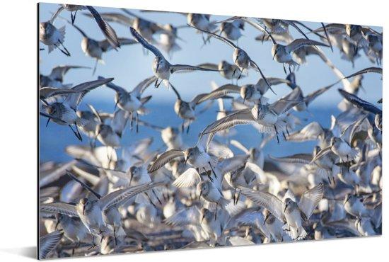 Afbeelding van kleine bonte strandlopers Aluminium 120x80 cm - Foto print op Aluminium (metaal wanddecoratie)