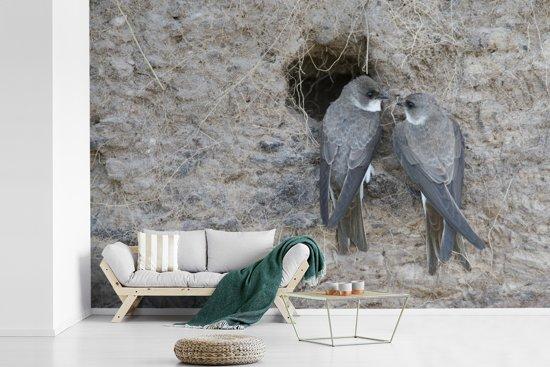Fotobehang vinyl - Twee oeverzwaluwen op een klif breedte 540 cm x hoogte 360 cm - Foto print op behang (in 7 formaten beschikbaar)