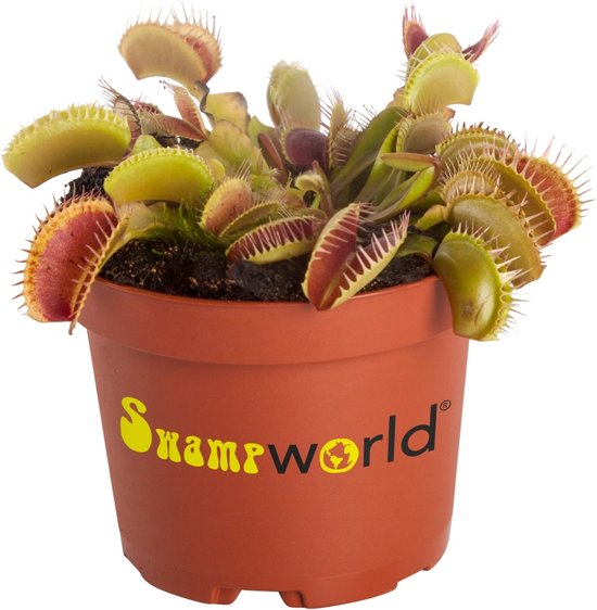 Swampworld Dionaea Muscipula P9 - Vleesetende plant - Venus vliegenval - Gekleurde Pot