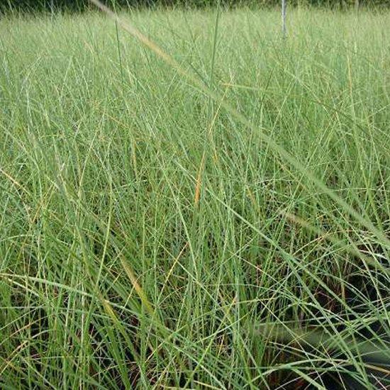 foto de bol com 6 x Ammophila Arenaria Helmgras pot 9x9cm