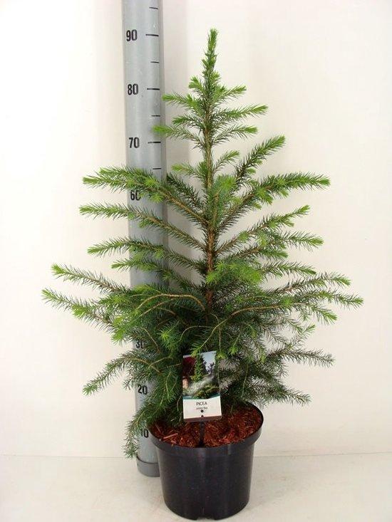 Kerstboom In Pot.Kerstboom Picea Omorika Totale Hoogte 60 80cm Incl O 23cm Pot A1 Kwekers Kwaliteit