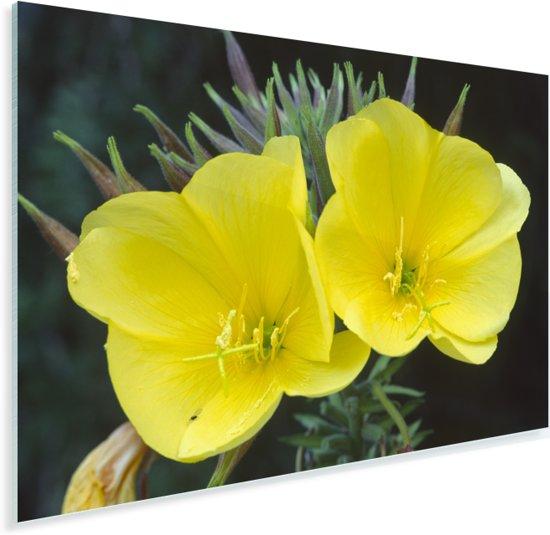 Twee teunis bloemen naast elkaar Plexiglas 120x80 cm - Foto print op Glas (Plexiglas wanddecoratie)