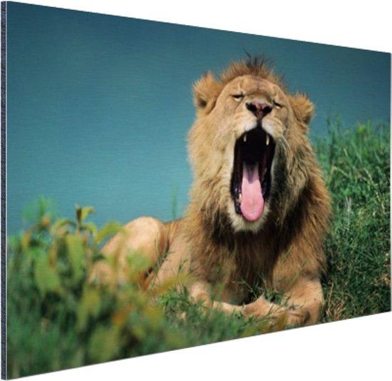 Gapende leeuw Aluminium 90x60 cm - Foto print op Aluminium (metaal wanddecoratie)