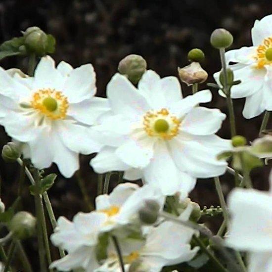 6 x Anemone Hybride 'Whirlwind' - Japanse Anemoon pot 9x9 cm