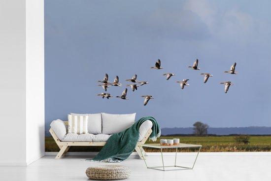 Fotobehang vinyl - Vliegende grauwe ganzen in een blauwe lucht breedte 420 cm x hoogte 280 cm - Foto print op behang (in 7 formaten beschikbaar)