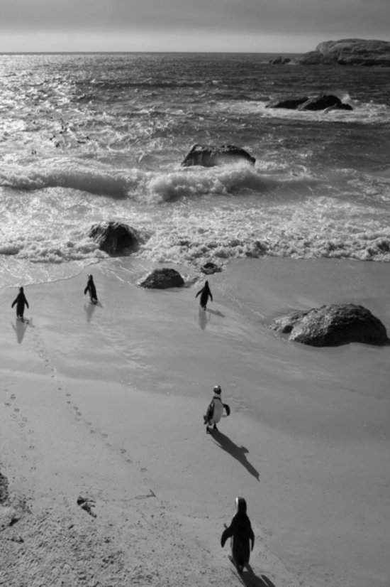 Alive! little penguin friends - black and white - Photo Art Notebooks (6 x 9 series)