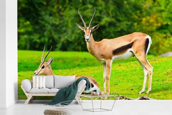 Fotobehang vinyl - Twee Gazelle's in het groene gras breedte 375 cm x hoogte 240 cm - Foto print op behang (in 7 formaten beschikbaar)