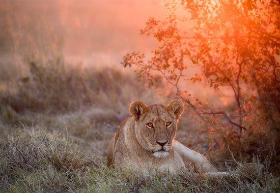 Fotobehang Sunset Lioness|VEXXXXL - 416cm x 290cm|Premium Non-Woven Vlies 130gsm