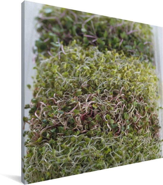 Verschillende kleuren alfalfa of luzerne Canvas 50x50 cm - Foto print op Canvas schilderij (Wanddecoratie woonkamer / slaapkamer)