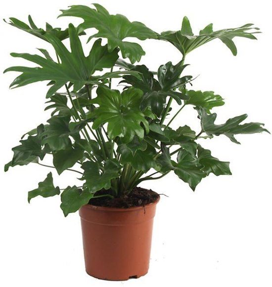 Philodendron Struikvorm medium