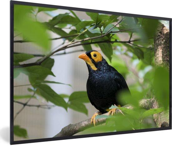 Foto in lijst - Treurmaina in een boom vol met bladeren fotolijst zwart 60x40 cm - Poster in lijst (Wanddecoratie woonkamer / slaapkamer)