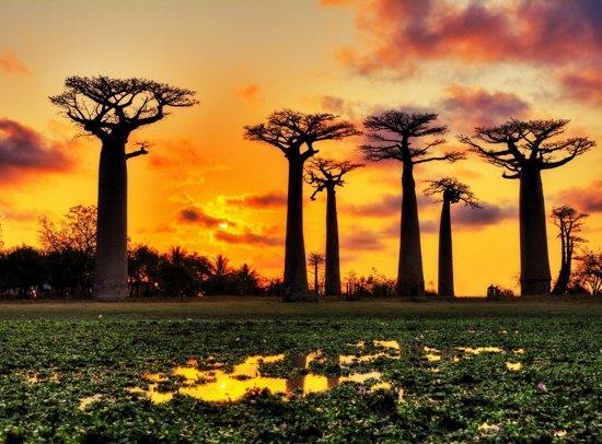 Papermoon Baobabs Trees African Sunset Vlies Fotobehang 300x223cm 6-Banen