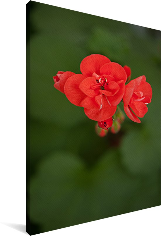 Bloeiende geranium bloem Canvas 90x140 cm - Foto print op Canvas schilderij (Wanddecoratie woonkamer / slaapkamer)