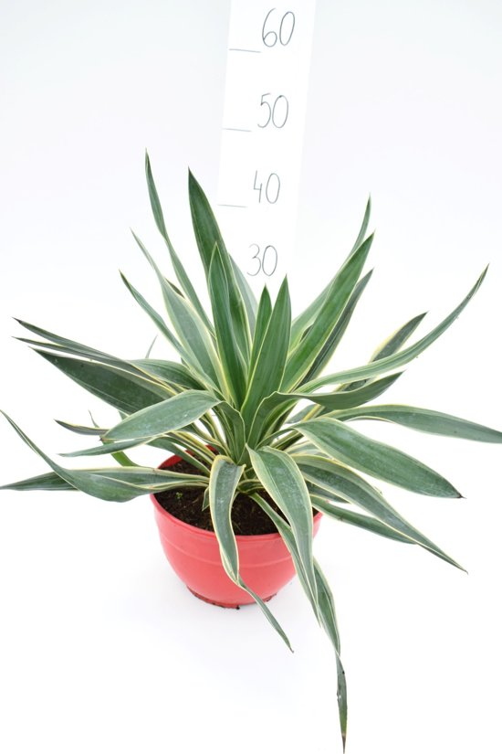Afbeeldingsresultaat voor tuinplant Yucca gloriosa in pot