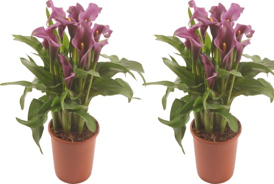 Geliefde bol.com | Arondskelk (Calla) - plant is 45 cm hoog @YT83