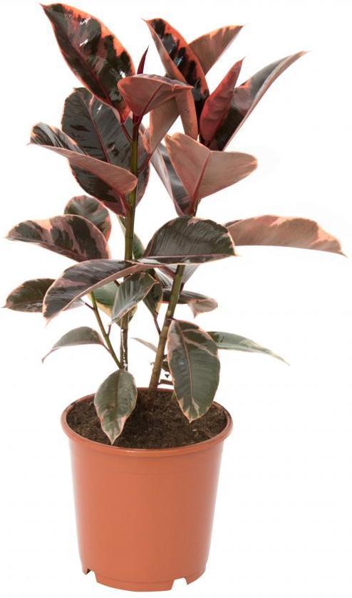 Ficus elastica belize rubberplant 90cm hoog potmaat 27