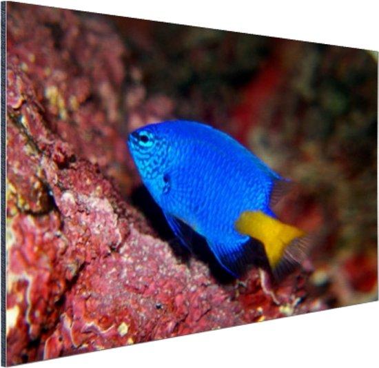 Exotische vis bij rood koraal Aluminium 120x80 cm - Foto print op Aluminium (metaal wanddecoratie)